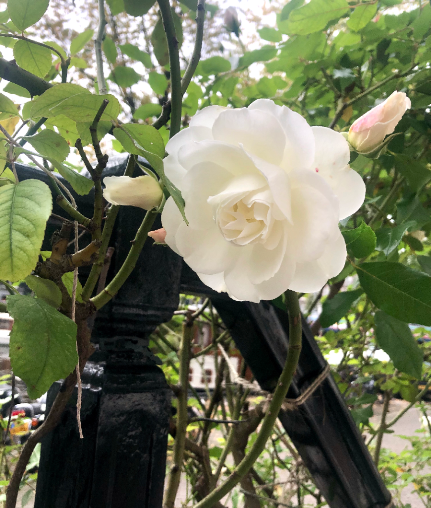 blooming roses at b&b Prinsengracht 969